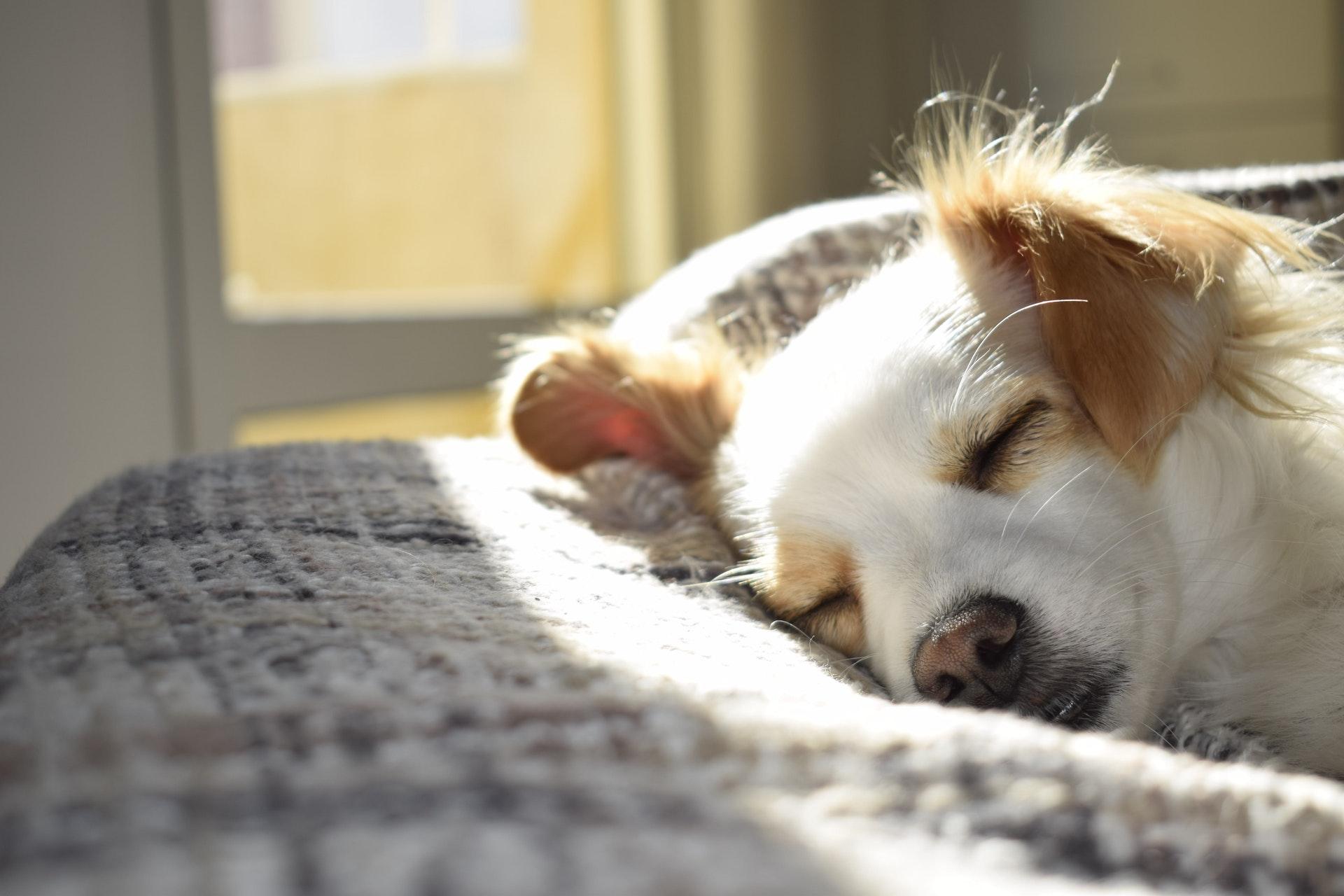 CBD olie voor honden en dieren